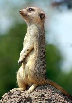 Meerkat; photo by Bob Livengood
