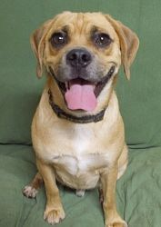 Amos hails from Arkansas, he was bought when he was just a baby, he has been neutered and is current on all shots. He is 10 months old and he a little shy, but sweet, he warms up pretty quick. If you are interested in adopting this wonderful dog, call us at 530-695-3814 or you can also log onto our website at www.sbk9rescue.com to fill out an online application.