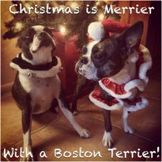 Funny Animal Christmas Pictures with Captions - Best Of Funny Animal Christmas Pictures with Captions , Christmas is Merrier with A Boston Terrier Happy Holidays to All Boston Terrier Rescue, Boston Terrier Love, Funny Animal Pictures, Funny Animals, Cute Animals, Dog Love, Puppy Love, Terrier Breeds, Terriers