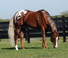The Hunter, an Appaloosa stallion. LOOK AT HIS TAIL! Very QH looking.