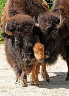 Bison family Kodak moment- Thank You😁👏👏👏👏😁 We built Deerfoot Trail,in Calgary too. Thank You, Bison Family🥁👋👏 The Animals, Baby Animals, Wild Animals, Animal Babies, Zebras, Beautiful Creatures, Animals Beautiful, Baby Bison, American Bison
