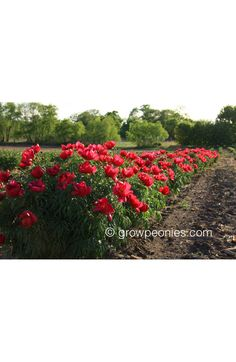 Paeonia x Smouthii Peony — Countryside Gardens, Inc. Buy Peonies, Peony, Countryside, Roots, Vineyard, Bloom, Gardens, Leaves, Landscape