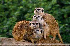 Connect the Meerkats