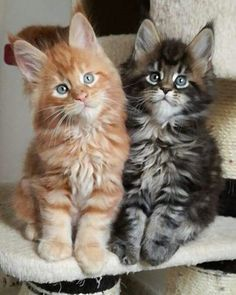 7 Fun Facts About Maine Coon Cats. 🐱 - Such Cute Maine Coon Kittens and Cats! White Kittens, Cute Cats And Kittens, Baby Cats, Kittens Cutest, Small Kittens, Cute Funny Animals, Cute Baby Animals, Funny Cats, Pretty Cats