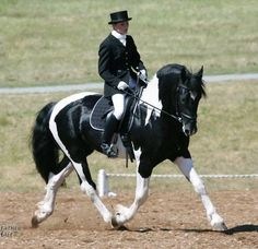 Orca, a 50% Friesian, 25% Paint, 25% Belgian, warmblood.  The perfect temperment with the size of a draft, movement of a friesian, and athleticism of a hot blood.