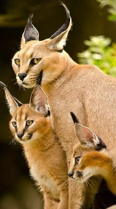 Mother Caracal and her cubs.