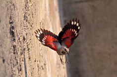 Discovering Alpine Birds: More wallcreeper photos