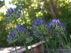 Botanicus: Allium litvinovii Allium, Shade Garden, Dandelion, Shades, Bulbs, Garden Ideas, Flowers, Plants, Lightbulbs