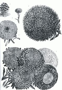 "Flower illustrations from "" Plants - 2400 copyright-Free Illustrations of flowers, Fruits and Vegetables"""