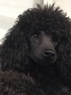 The traits I like about the Very Smart Poodle Pup Poodle Cuts, Poodle Mix, Poodle Puppies, Small Poodle, French Dogs, French Poodles, Poodle Grooming, Dog Show, Yorkshire Terrier