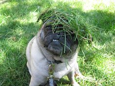 Camouflage... am i already ugly enough and u go puttin grass on pug's faces !!!! XD LOL