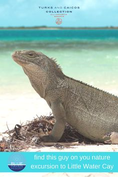 See the indigenous rock iguanas on Little Water Cay (Iguana Island), opposite Blue Haven Resort, Turks and Caicos. Turks And Caicos Resorts, Making Water, Swim Up Bar, Vacation Memories, Adventure Tours, All Inclusive Resorts, Lizards, Palm Trees, Swimming Pools