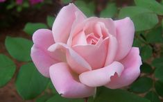 The Georgia Peach™ Shrub Rose was discovered local gardener Beth Steele in McDonough, Georgia in and introduced by yours truly in Herb Garden, Garden Beds, Garden Tools, Fast Growing Shrubs, Buy Plants Online, Shrub Roses, Purple Garden, Planting Roses, Flowering Shrubs