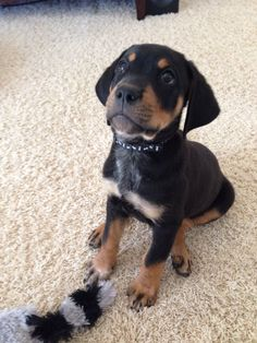Our baby Jax.. Rottweiler lab mix