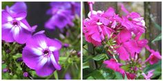 My Top Five Perennials for Mid-Summer Blooms (new house, new home, new life)