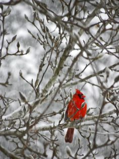 Cardinal in the snow. #bird Taken by Lea Cook