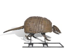 Giant armadillo skeleton, Holmesina occidentalis. Dimensions: 2.85m long x 80cm wide x 76cm high  Period: Late Pleistocene, 12 000 years old.