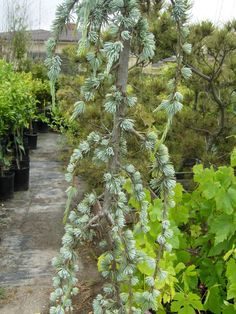 color & tone of a weeping cedar tree - very ornamental and good focal item