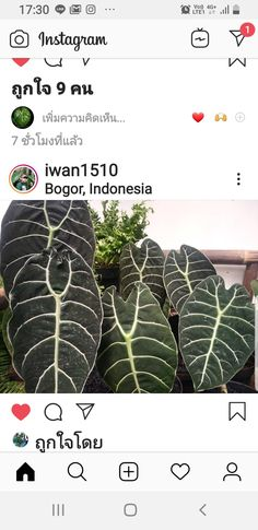 Caladium Garden, Bogor, Plant Leaves, Instagram, Plants