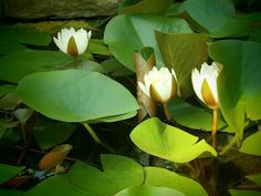 Water Lillies blooming in my pond!