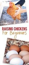 how to raise chickens for eggs