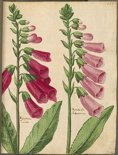 31 ( - Digitised Book from the copyright-free holdings of the Bavarian State Library Munich [Germany] Image-based Similarity Search Vintage Illustration Art, Nature Illustration, Vintage Botanical Prints, Botanical Drawings, Retro Poster, Vintage Posters, Botanical Flowers, Botanical Art, Flower Art
