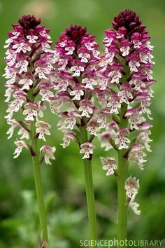 Burnt orchid (Orchis ustulata).   Represents the FIRE element nicely because of shape