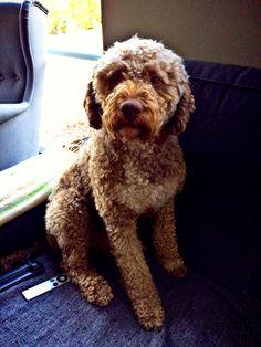 Our Lagotto Romagnolo/Italian Waterdog. His name is Bilbo.