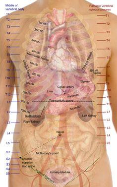 Pancreas Location