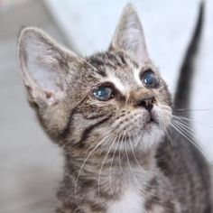 Journey  is a sweet and loving kitten who is available at our Mission campus.