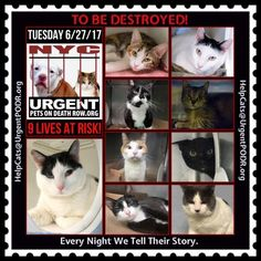"""TO BE DESTROYED 6/27/17 - - Info  Please share View tonight's list here: http://nyccats.urgentpodr.org/tbd-cats-page/. The shelter closes at 8pm. Go to the ACC website( http:/www.nycacc.org/PublicAtRisk.htm) ASAP to adopt a PUBLIC LIST cat (noted with a """"P"""" on their profile) and/or … CLICK HERE FOR ADDITIONAL…Please…Please...-  Click for info & Current Status: http://nyccats.urgentpodr.org/to-be-destroyed-32017/"""