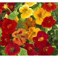 Tropaeolum nanum - Nasturtium Alaska Mix - GardenPost