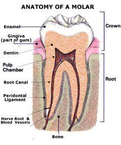 Anatomy of A Molar  Repinned by www.GreenbrierDental.com