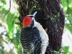 Acorn Woodpecker  Melanerpes formicivorus