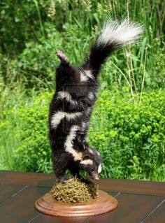Spotted Skunk hand dance
