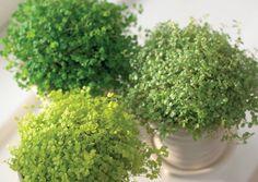 Kodinonni on mätästävä rentovartinen kasvi, joka viihtyy melkein missä vain. Opi oikea kastelurytmi, niin kasvisi kukoistaa. Lue Viherpihan hoito-ohjeet.
