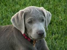 silver lab puppies for sale - Google Search