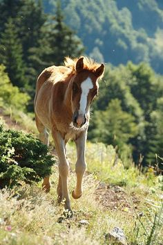 Wild Chestnut Mustang Foal Walking on a Well Travelled Path.