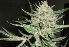 DR Weed Cloud (mmguide) on Pinterest