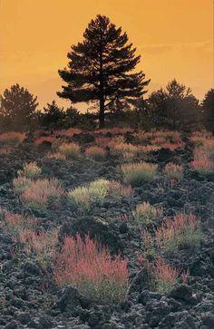 """Pino laricio etneo Etna pine larch.  (ph brochure """"Isola Verde"""" pubblicata da Assessorato Turismo Stampa a cura di: MediaCenter&Management - ottobre 2008) #foliangeinitaly #etna #autumninsicily"""