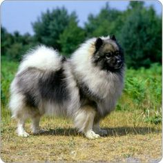 keeshound | Become a Pet Owner A-Z Dog Breed Library Keeshond