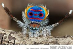 I present to you, the peacock spider…