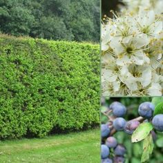 Huge range of Mixed Native hedging packs - Blackthorn base. Hedging Plants, Plants, Plant Species, Growing Plants, Cool Plants, Wildlife Gardening, Hedges, Family Garden, Garden Features