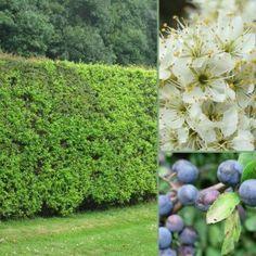 Mixed Native Hedging Packs - Blackthorn Base ::: Blackthorn, Dog Rose, Field Maple, Hazel, Wild Cherry, Hawthorn