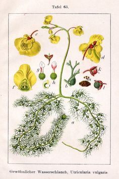 Bladderworts, Utricularia - Yahoo Image Search Results