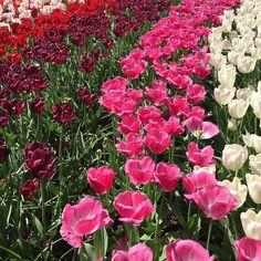 Tulips  #tulips #tulipseason #netherlands #keukenhof #flowers #lisse by aimeyoshikawa