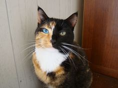 Two-Face Kitty - cool colored cat!