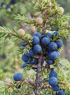 10 Ideas De Albahaca Planta Albahaca Planta Plantas Medicinales Plantas