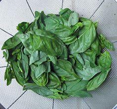 Basil Leaves in Colander