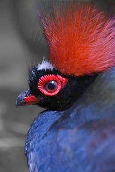 Exotic Birds - Male Crested Wood Partridge (Male) - Up close portrait Pretty Birds, Love Birds, Beautiful Birds, Animals Beautiful, Cute Animals, Small Birds, Colorful Birds, Bird Pictures, Animal Pictures